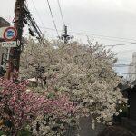 京都の桜のスポットはやっぱり円山公園です!