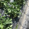 山科の観修寺観光農園のイチゴ狩は予約が必要です!
